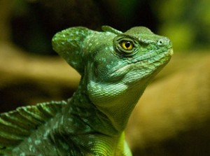 Green Basilisk / Basiliscus plumifrons / Jesus lizard by spencer77 Spencer Wright via flickr