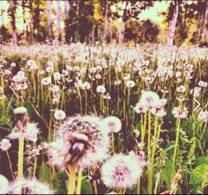 Dandelions by Dana Bryson