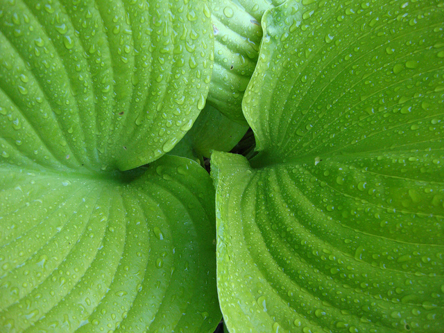 Hostas by Heather via flickr. Creative Commons license.