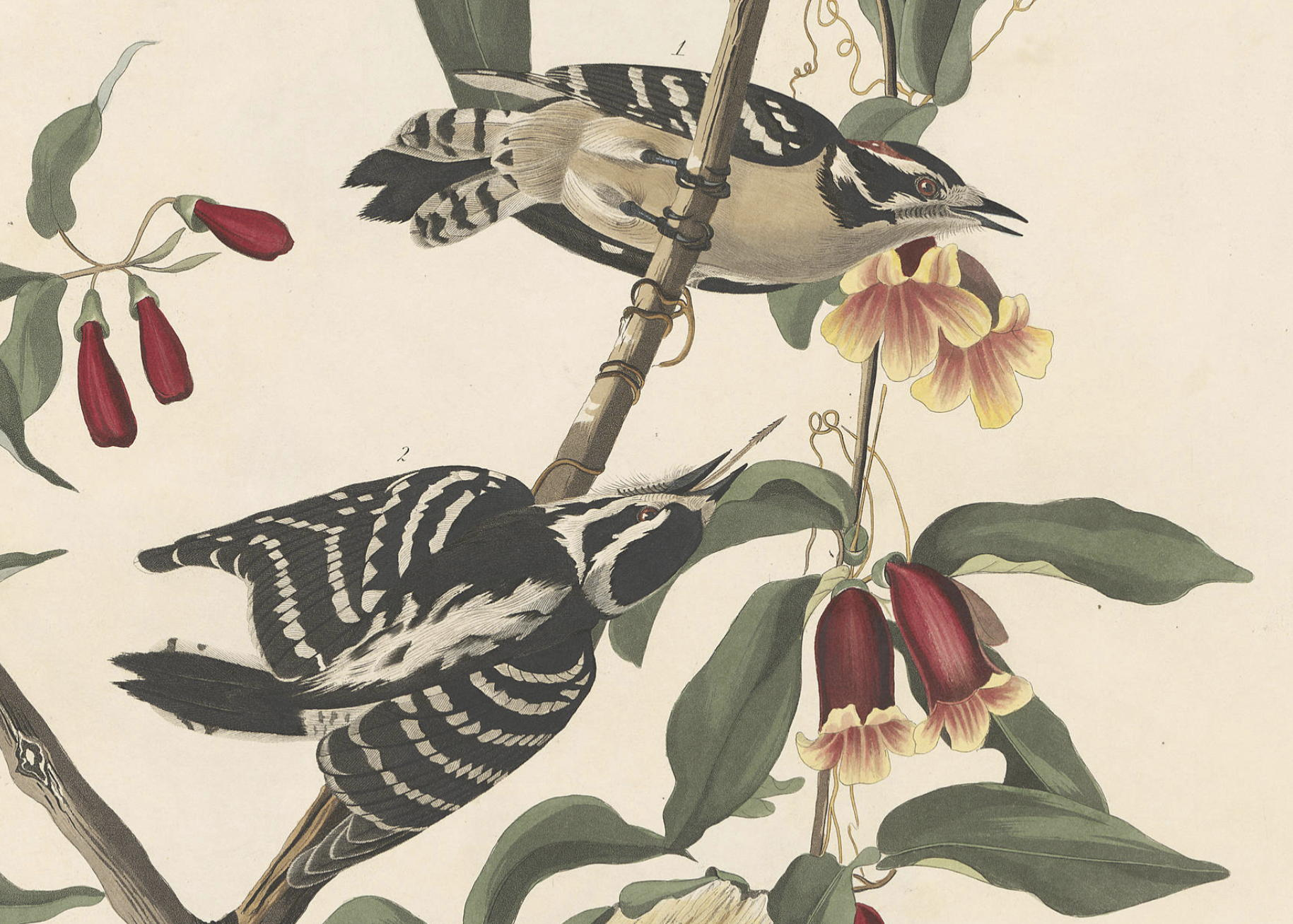 Detail from Downy Woodpecker by John James Audobon